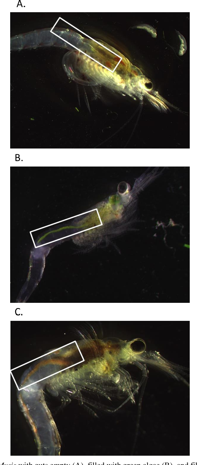 Figure 2: Images of Mysis with guts empty (A), filled with green algae (B), and filled with Artemia (C). Guts are outlined with white boxes. Photographs were taken between 6.3 and 30X magnification with an Infinity1 camera mounted on an Olympus SZS9 dissecting microscope.
