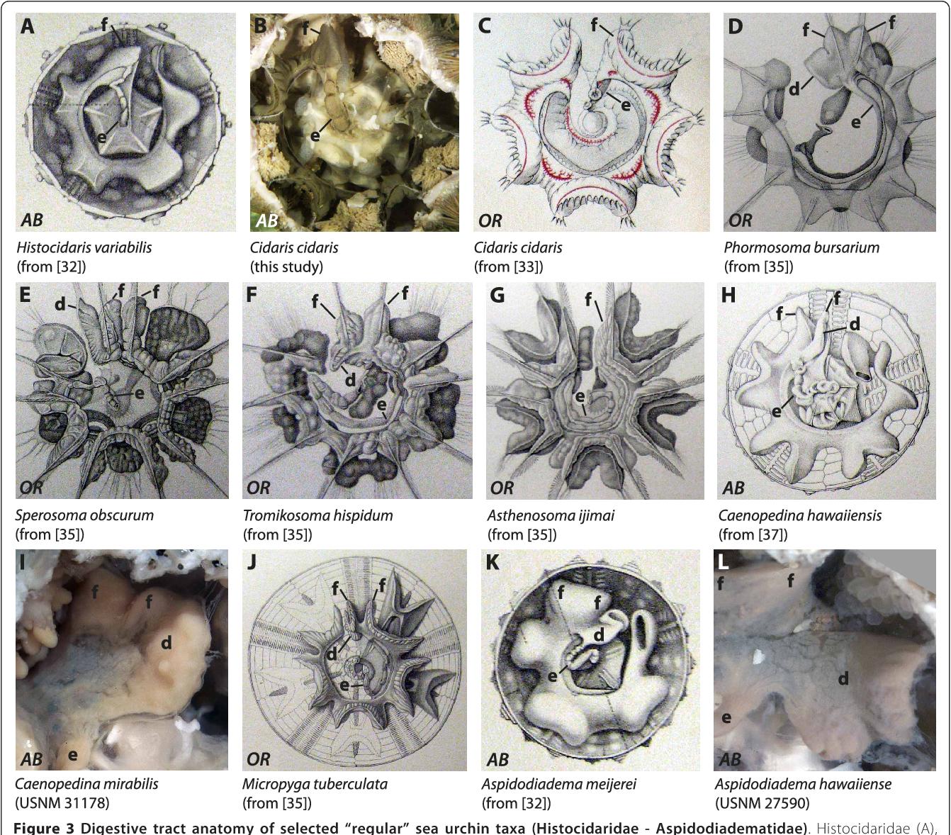 Origin And Evolutionary Plasticity Of The Gastric Caecum In Sea