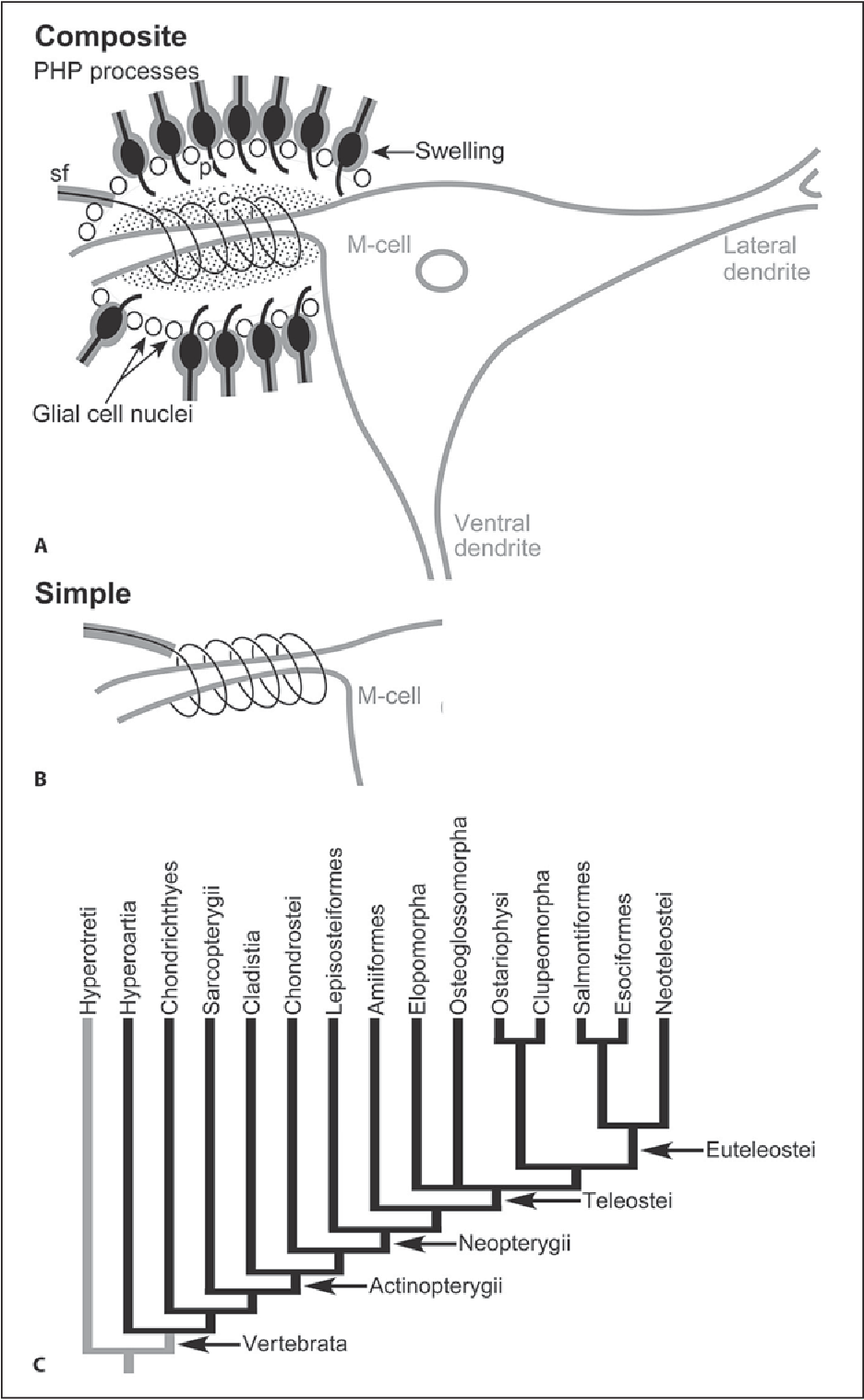 Figure 1 from Evolution of the Mauthner axon cap. - Semantic Scholar