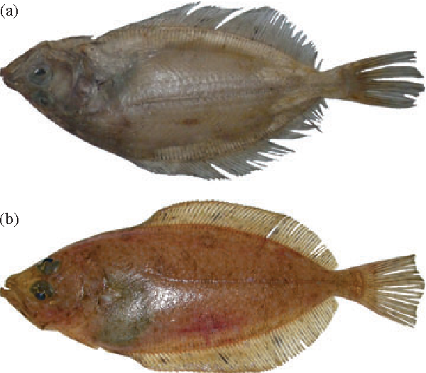 Fig. 1. (a) Reversed specimen of Lepidorhombus whiffiagonis , 272 mm standard length (LS), and (b) nonreversed specimen, 284 mm LS, caught in the northern North Sea.