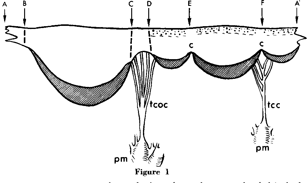 Figure 1 From Morphology Of The Human Mitral Valve Ii The Value