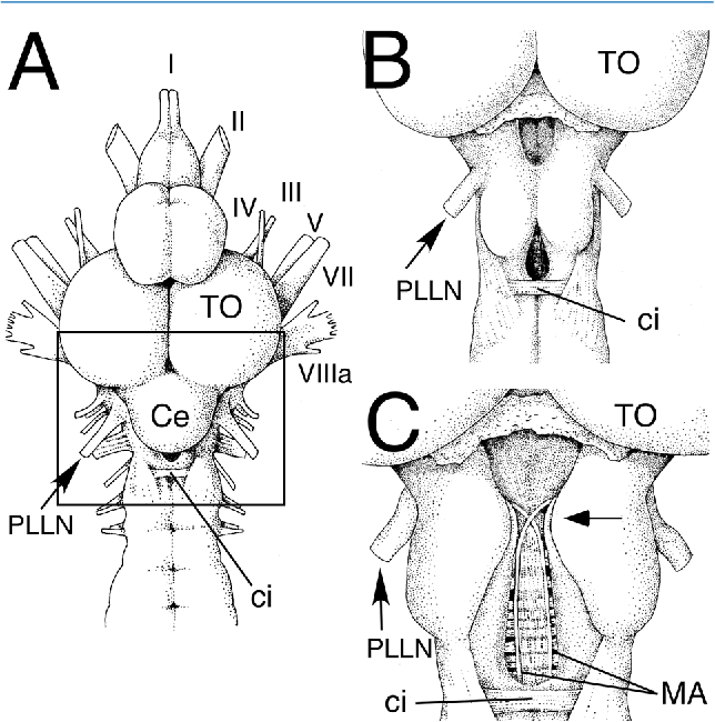 Figure 1 From Axon Cap Morphology Of The Sea Robin Prionotus