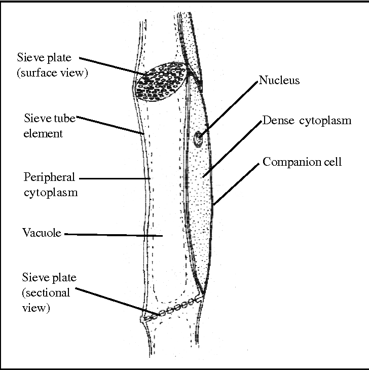 figure 3 from uk tracheids   vessels and sieve tubes