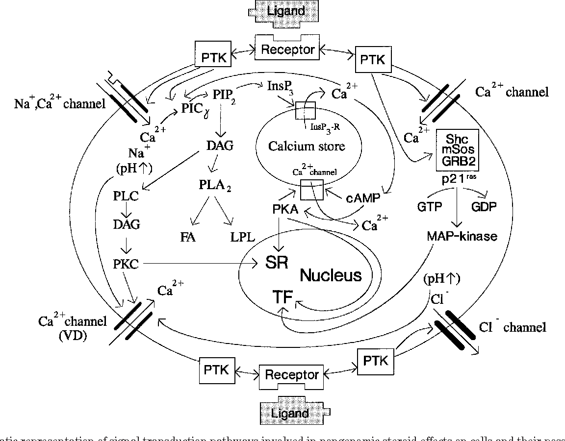 Figure 2 From Nongenomic Actions Of Steroid Hormones In Reproductive