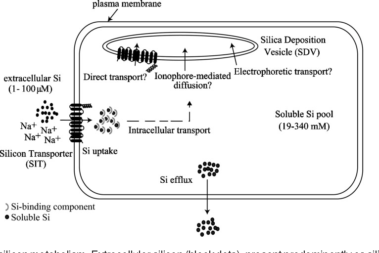 schematic of diatom silicon metabolism  extracellular silicon (black dots),