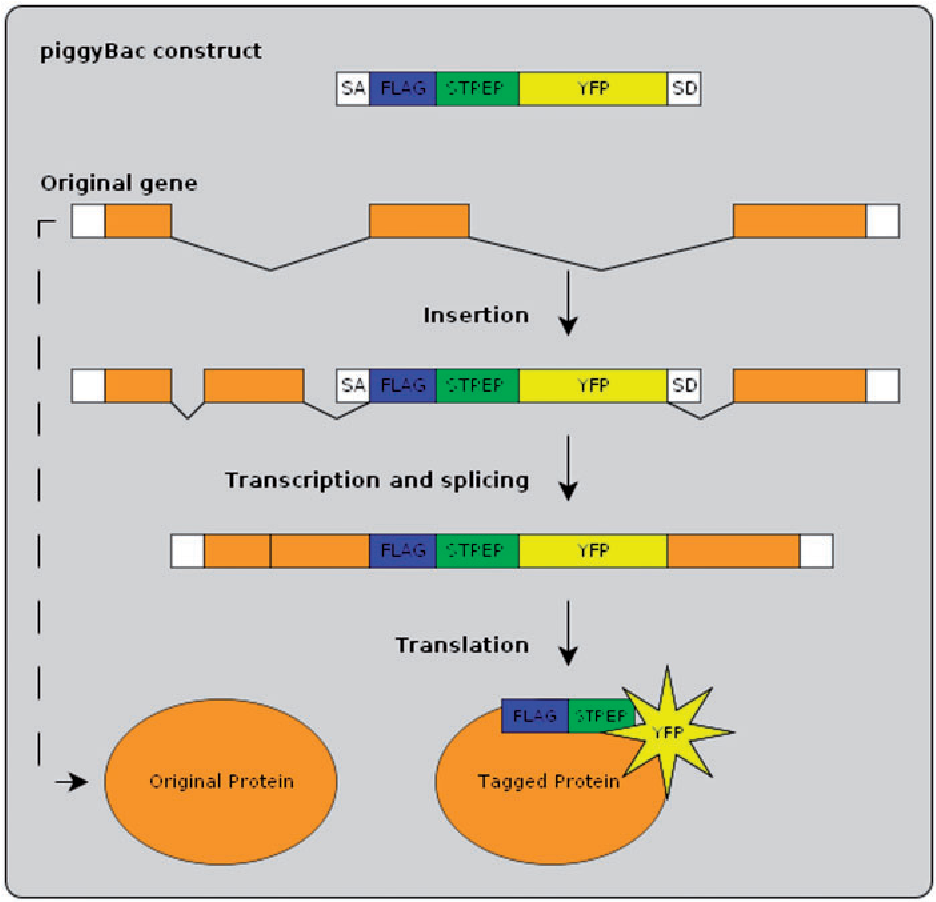 Figure 1. Protein-trap insertion using the piggyBac method. An artificial exon is inserted into the genome at random locations. When inserted within an intron of an existing gene the resulting tagged protein produces in vivo fluorescence.