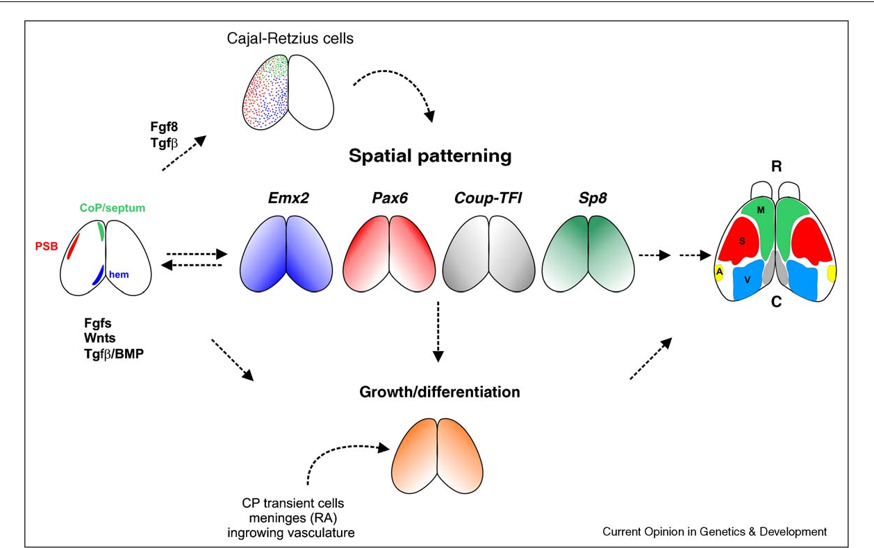 Patterning The Cerebral Cortex Traveling With Morphogens Tfi Wiring Diagram Figure 2