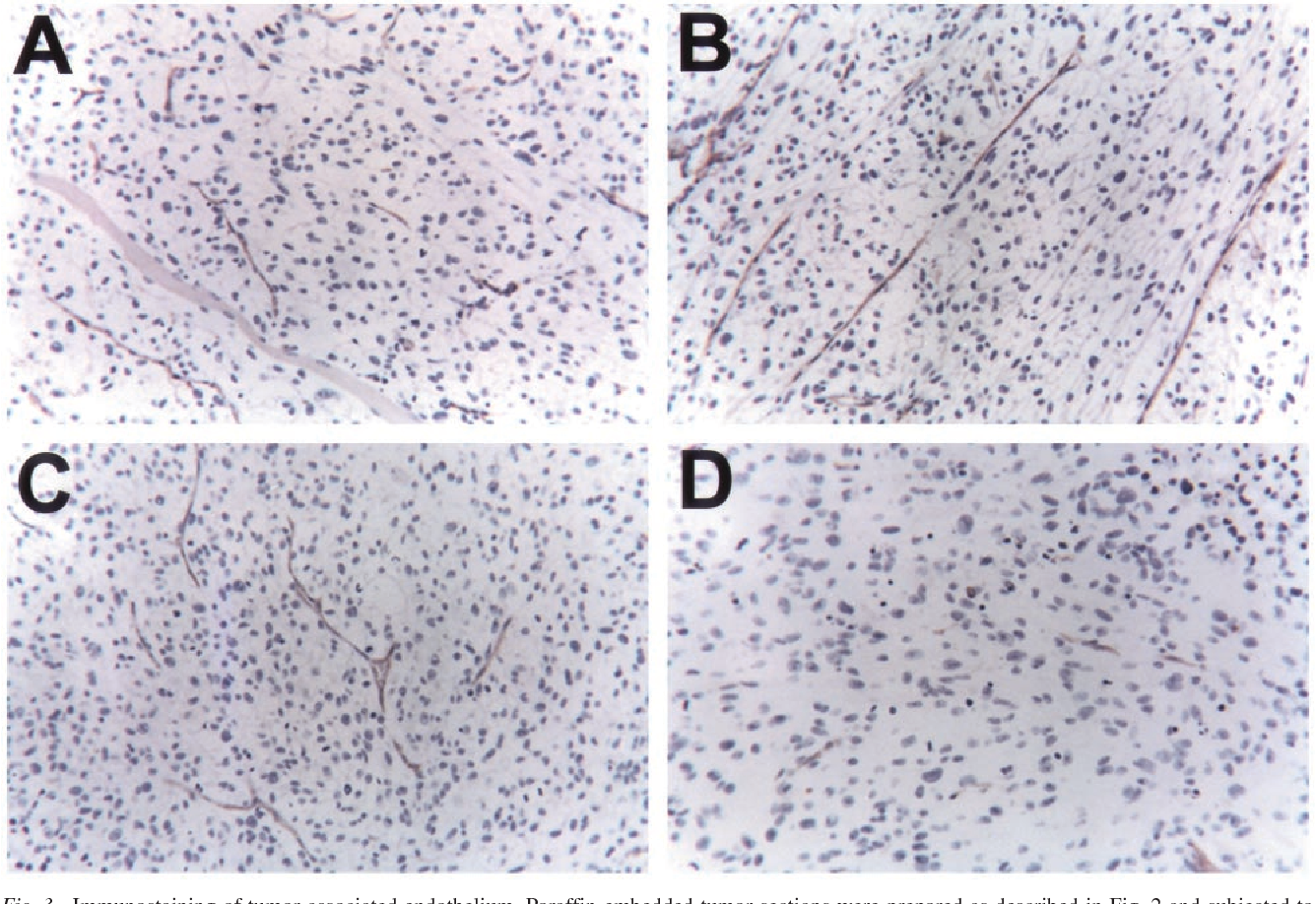 Fig. 3 Immunostaining of tumor-associated endothelium. Paraffin-embedded tumor sections were prepared as described in Fig. 2 and subjected to immunostaining with a goat polyclonal CD31-PECAM antibody. The stained slides were then photographed ( 40) using a Nikon Microphot-FX fluorescence microscope. A, control; B, rPRP-B treatment; C, ET-743 treatment; D, rPRP-B and ET-743 combination treatment.