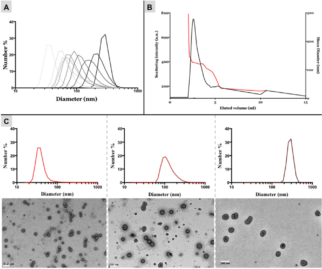 Figure 3. Size separation using two columns. (A) Representative DLS frequency distribution of the different fractions separated by two in series SEC columns. (B) Chromatogram showing the elution of polymersomes from the SEC column as a function of scattering intensity (black curve) and relative average size (red curve). (C) DLS frequency distributions and TEM micrographs for three representative fractions. Scale bars = 200 nm.