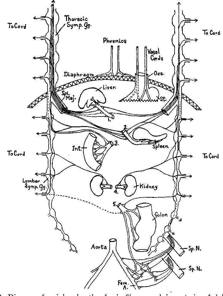 Figure 1 From Studies On The Pain Sensibility Of Arteries
