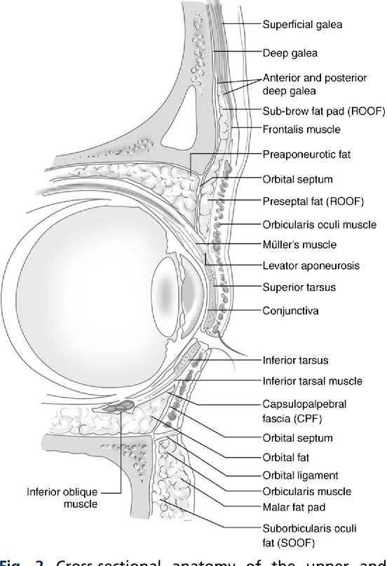 Figure 2 from Surgical Anatomy of the Eyelids. - Semantic Scholar
