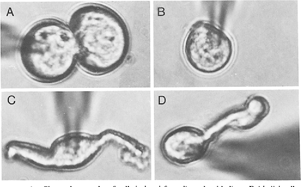 FIGURE 1. Photomicrographs of cells isolated from lingual epithelium. Epithelial cells (A), a basal cell (B), and taste cells (C and D) are illustrated. The shadow of the patch electrode can be seen in each micrograph. 1 cm -- 10/~m.