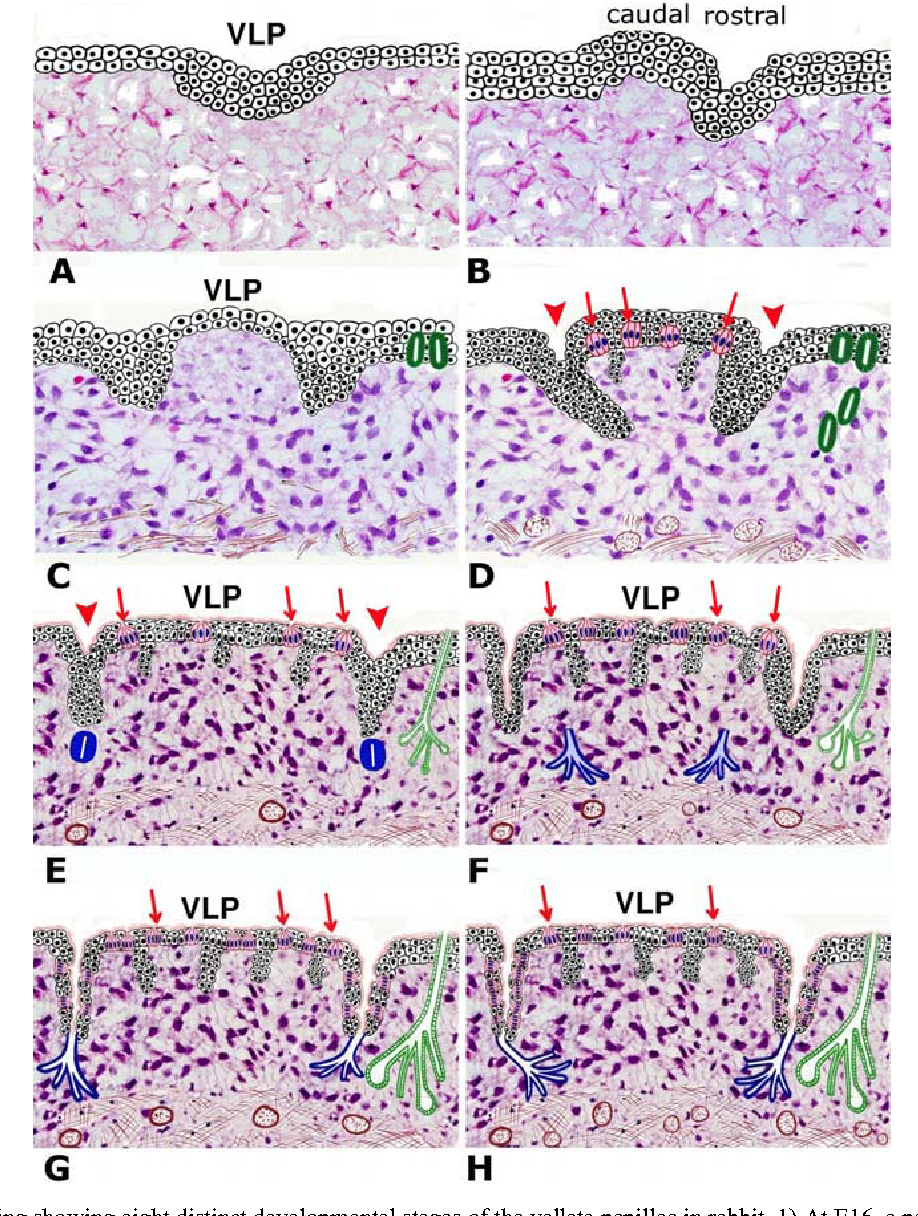 Figure 3 From Histogenesis Of Rabbit Vallate Papillae Semantic Scholar