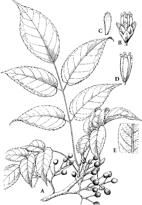 Floral Diagram Of Family Caricaceae