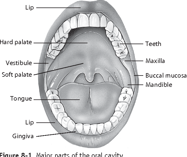 Review Of Anatomy And Functions Of The Oral Cavity Anatomy Of The
