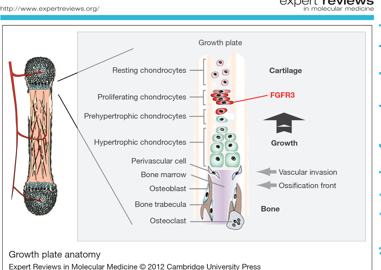 Figure 3 From Fgfr3 Targeting Strategies For Achondroplasia