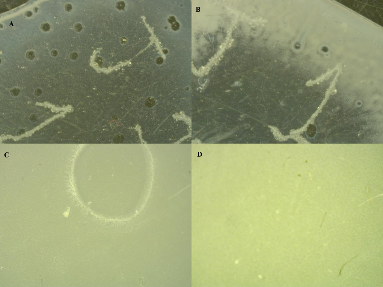 Figure 16: comparison of images taken from a stereo microscope of samples dried at 70°C (A), 120°C (B), 150°C (C), and 200°C (D)
