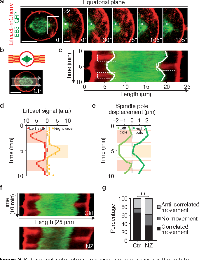 Figure 8 from External forces control mitotic spindle positioning