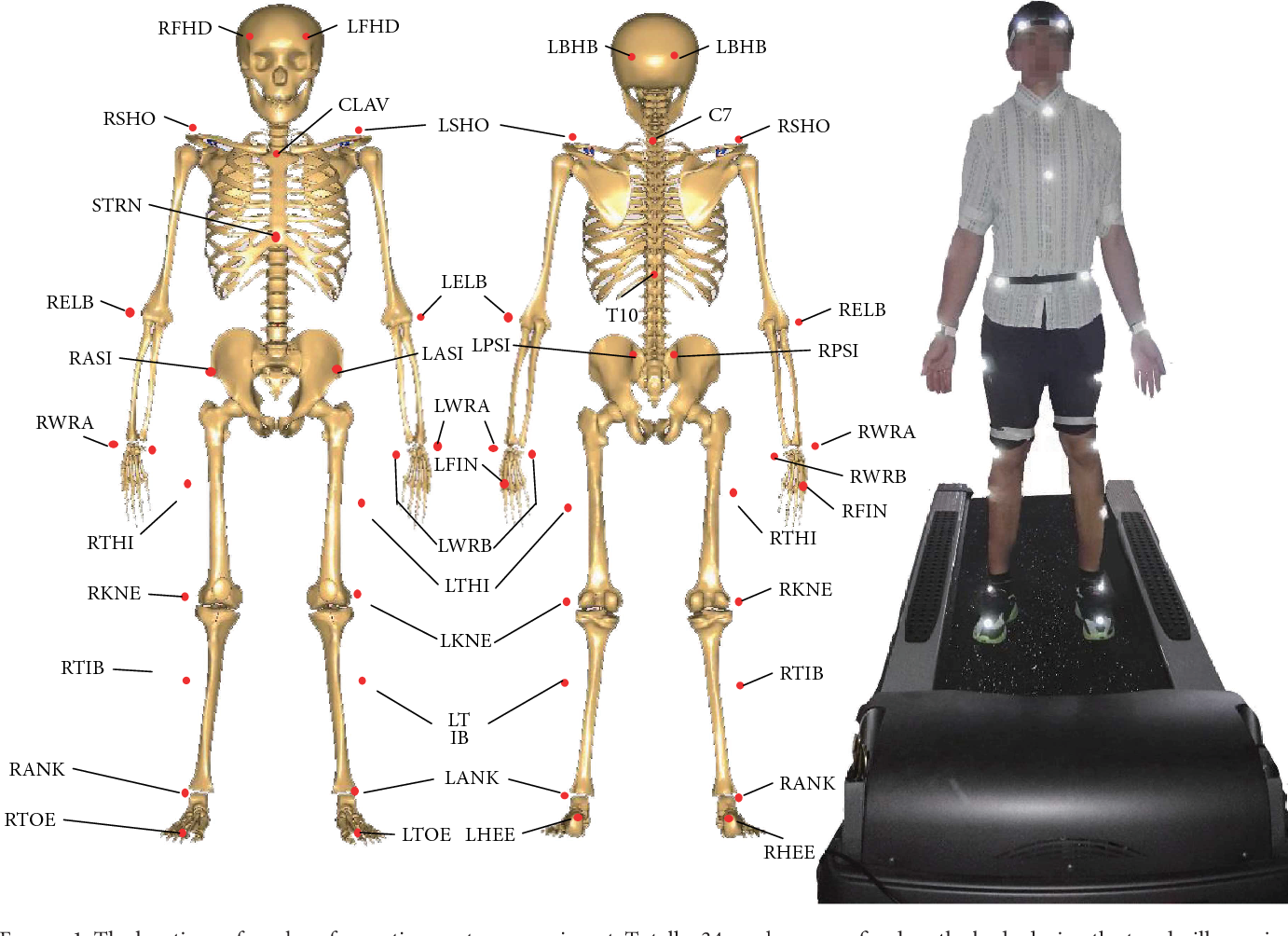 Effect of Constraint Loading on the Lower Limb Muscle Forces in ...
