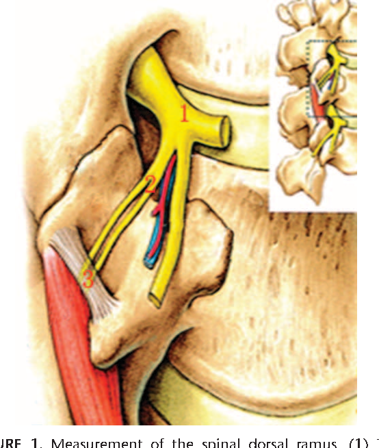Clinical Anatomy And Measurement Of The Medial Branch Of The Spinal