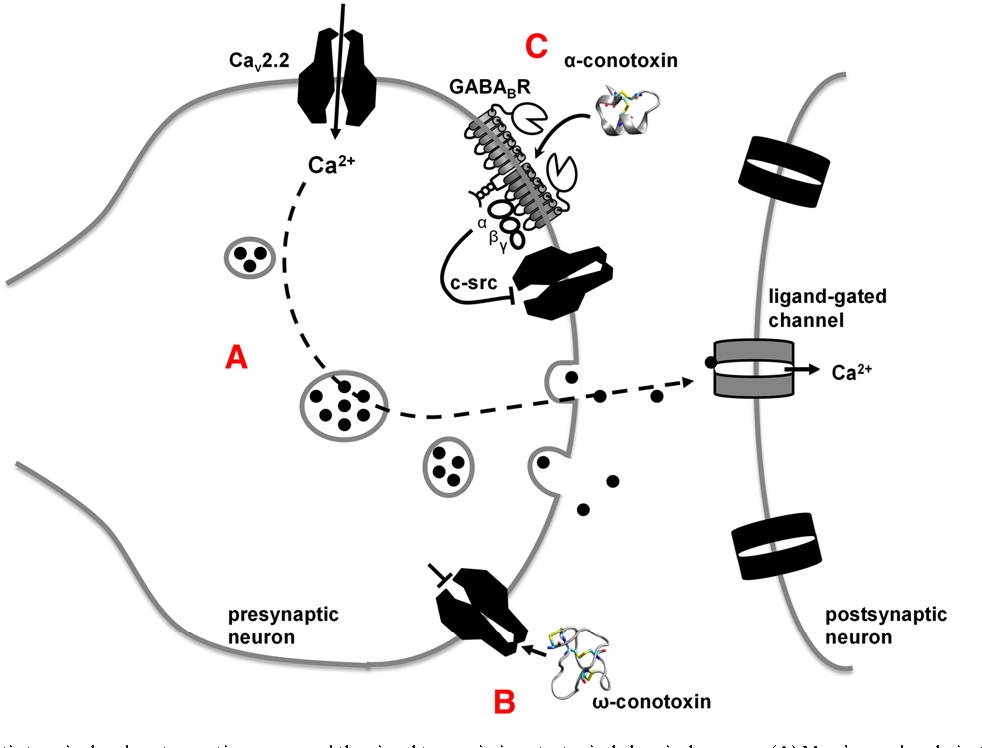 Figure 3 From Mechanisms Of Conotoxin Inhibition Of N Type Cav2 2