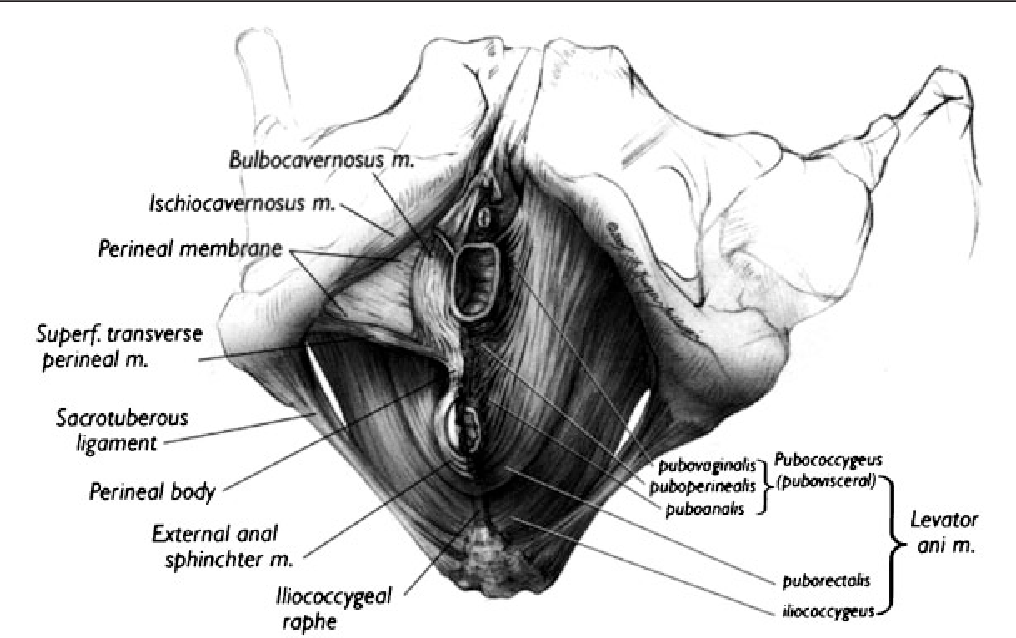 Normal vulvovaginal, perineal, and pelvic anatomy with ...