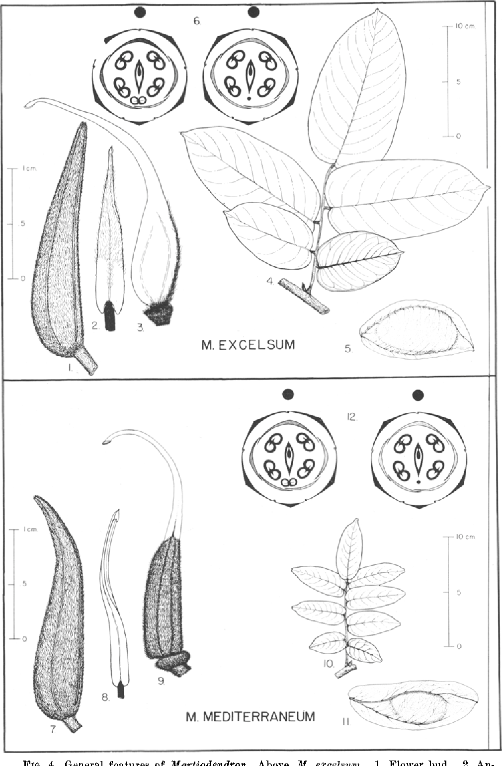 Figure 4 from revision of martiodendron cassieae caesalpiniaceae figure 4 ccuart Choice Image
