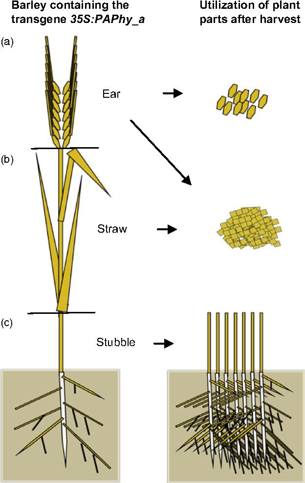 diagram of barley plant wiring diagram z4 rh 12 bgtuio biologiethemenabitur de