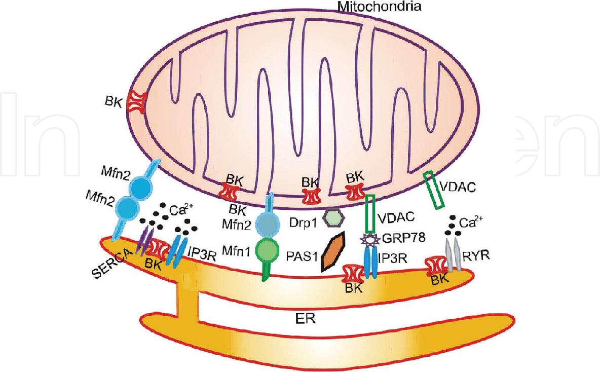 PDF] The Role of Calcium-activated Potassium Channel in Mitochondria