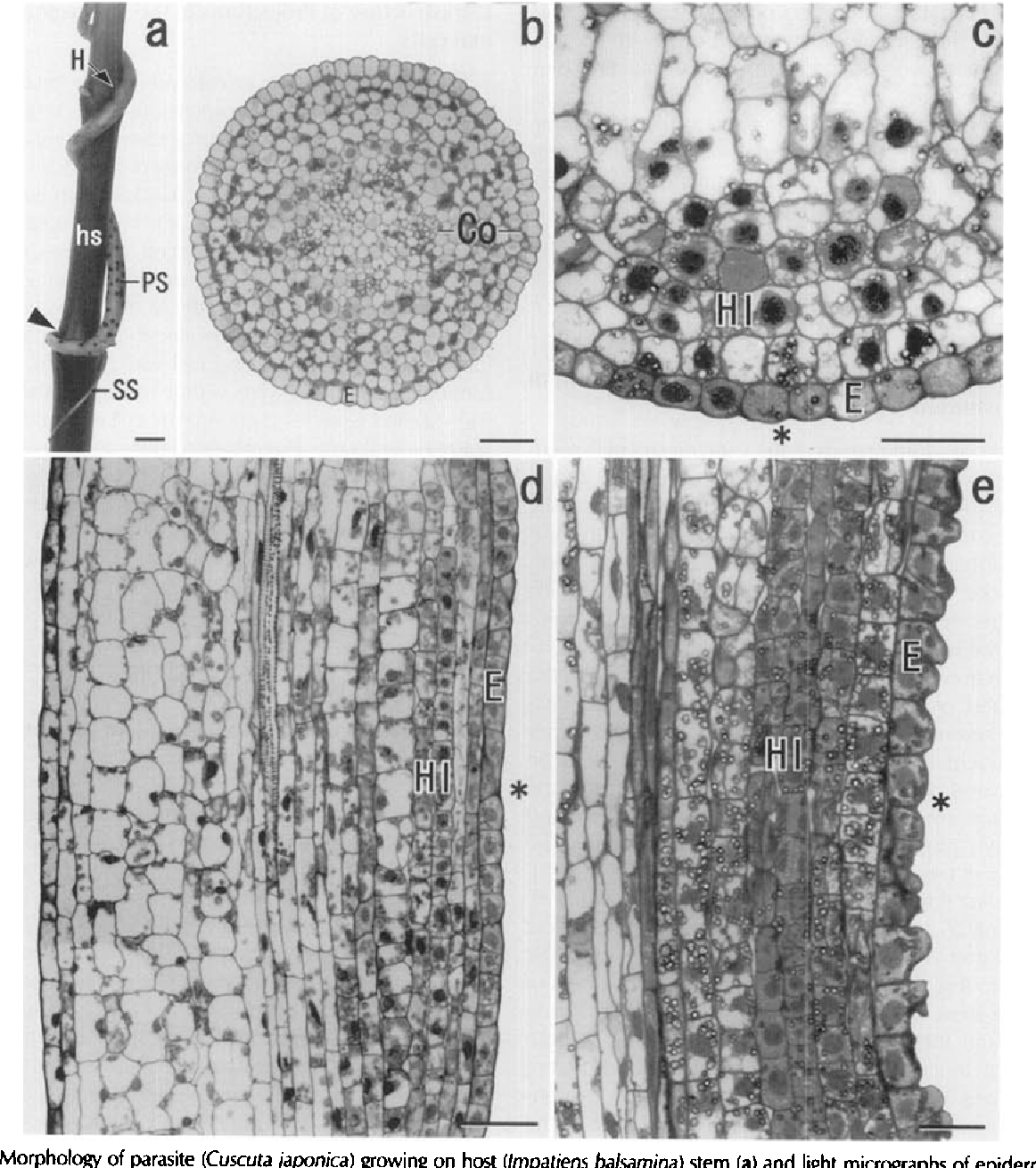 Anatomy and ultrastructure of epidermal cells in the haustorium of a ...
