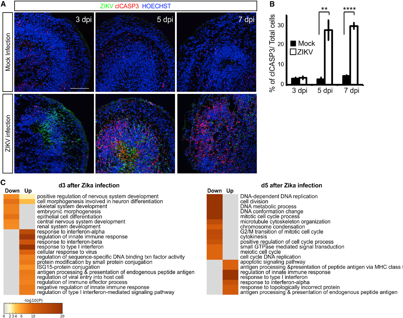Neurotoxicity Predicted By Organoids >> Self Organized Cerebral Organoids With Human Specific