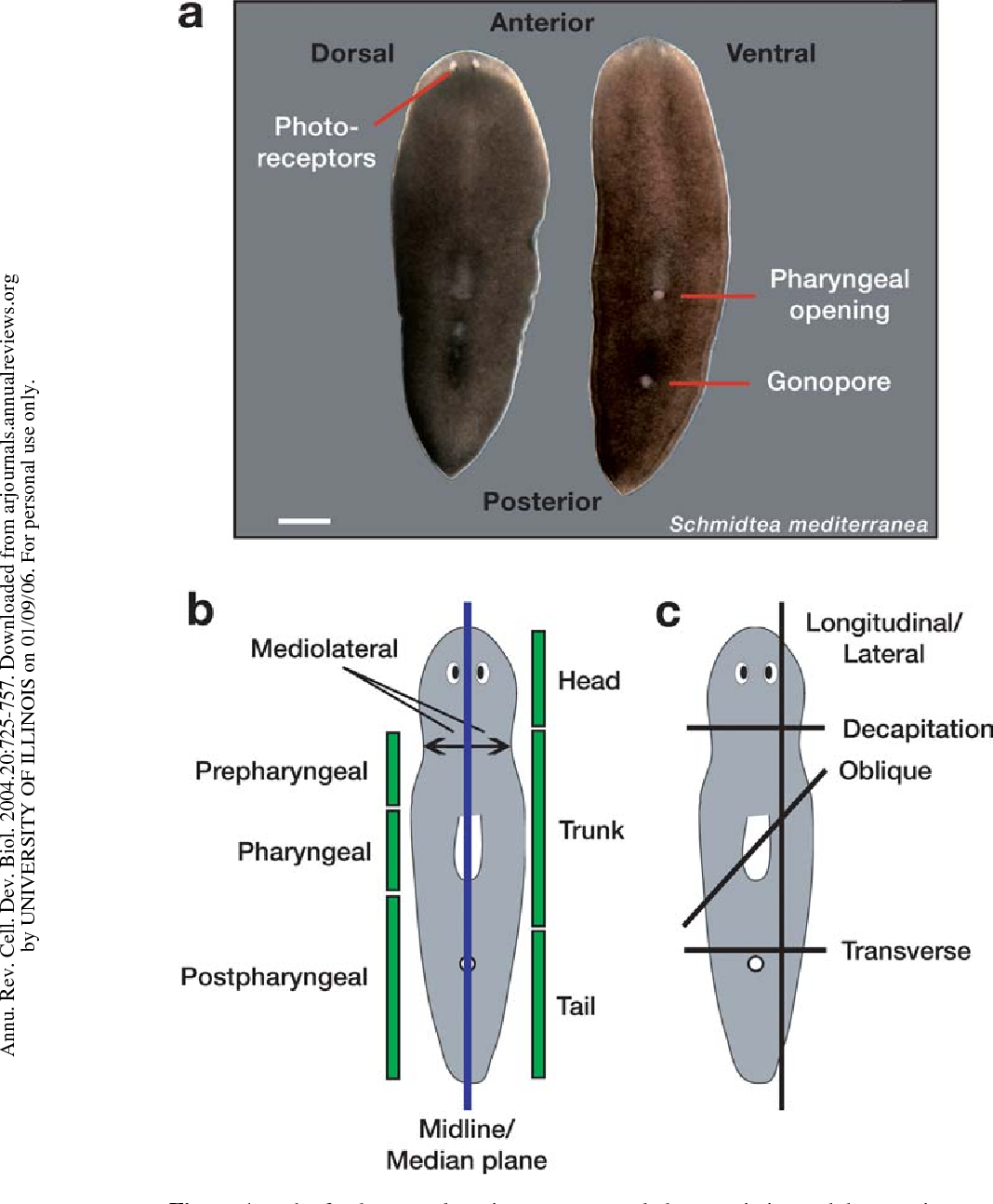 Figure 1 From Fundamentals Of Planarian Regeneration Semantic Scholar
