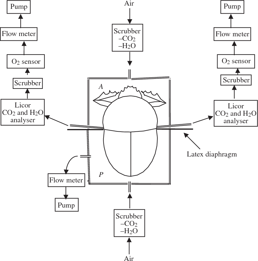 Figure 2 From Respiratory Airflow In A Wingless Dung Beetle