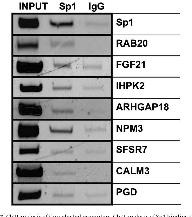 Fig. 7. ChIP analysis of the selected promoters. ChIP analysis of Sp1 binding to the selected promoters was performed using HeLa cells subjected to Sp1 and IgG immunoprecipitation. DNA bound to the immunoprecipitated Sp1 using specific antibody, was amplified by PCR. Mouse IgG was used as negative control. Representative images of the PCR products corresponding to the amplification of RAB20, FGF21, IHPK2, ARHGAP18, NPM3, SRSF7, CALM3, PGD and Sp1 (specific primers are described in Table 2) promoter fragments are shown. The input lane corresponds to the whole (non immunoprecipitated) DNA and the Sp1 and IgG lanes correspond to the immunoprecipitations with Sp1 and IgG, respectively.