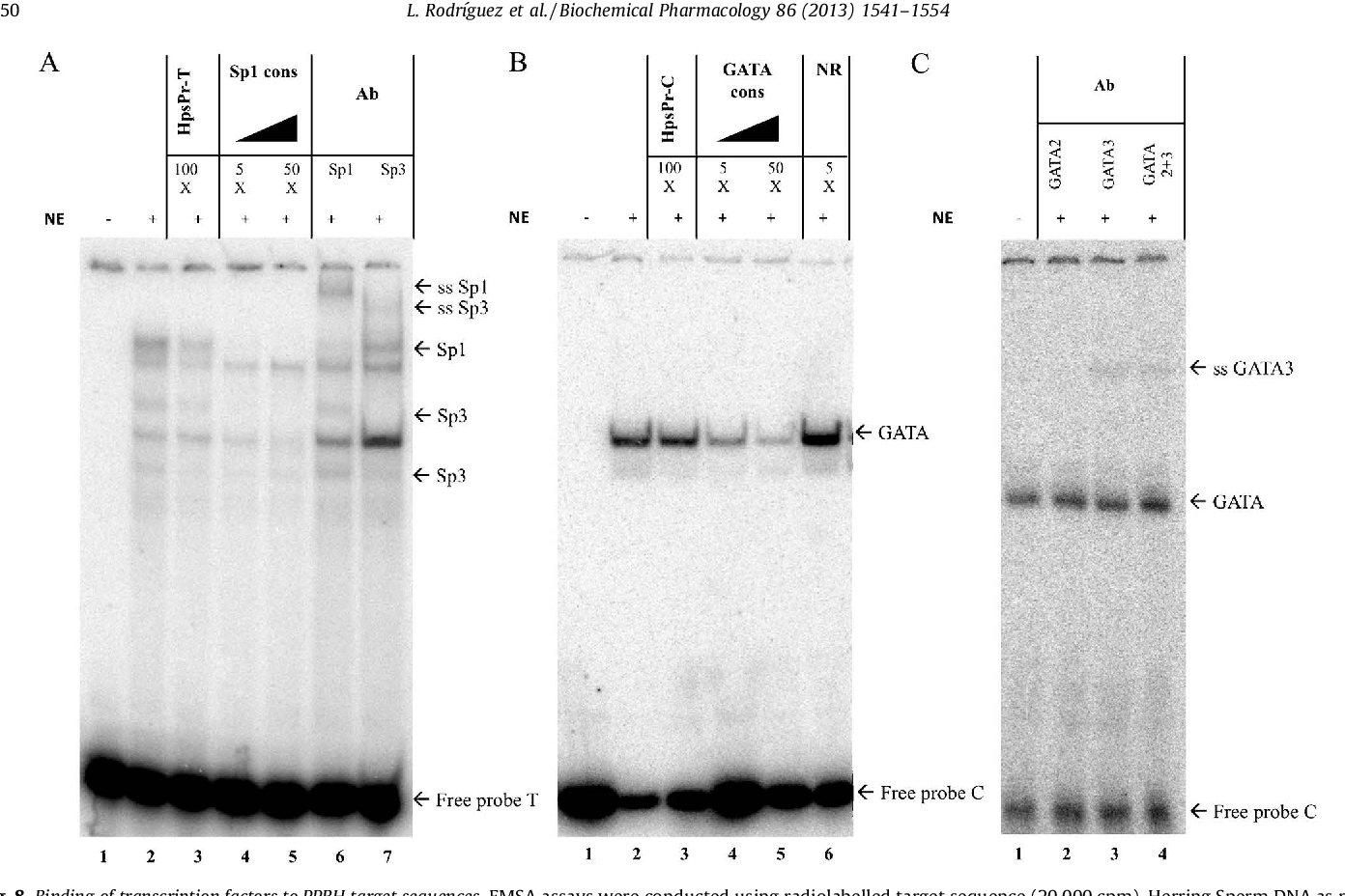 Fig. 8. Binding of transcription factors to PPRH target sequences. EMSA assays were conducted using radiolabelled target sequence (20,000 cpm), Herring Sperm DNA as nonspecific competitor and HeLa nuclear extracts as the protein source. (A) Bindings obtained using radiolabelled ds-target sequence for HpsPr-T. The binding pattern using HeLa nuclear extracts is shown in lane 2. Competition assays were performed using a 100-fold excess of HpsPr-T (lane 3) or a 5 to 50-fold excess of Sp1/3 consensus sequence (lanes 4 and 5). Supershift assays were performed four times in the presence of antibodies against Sp1 (lane 6) or Sp3 (lane 7). Shifted and supershifted (ss) bands are indicated by arrows. (B) Bindings obtained using radiolabelled ds-target sequence for HpsPr-C. The binding pattern using HeLa nuclear extracts is shown in lane 2. Competition assays were performed using a 100-fold excess of HpsPr-C (lane 3), a 5 to 50-fold excess of GATA consensus sequence (lanes 4 and 5) and a 50-fold excess of a non-related sequence (lane 6). Shifted bands are indicated by arrows. (C) Supershift assays were performed four times in the presence of antibodies against GATA-2 (lane 2), GATA-3 (lane 3) and both antibodies (lane 4). The supershifted (ss) band is indicated by an arrow.