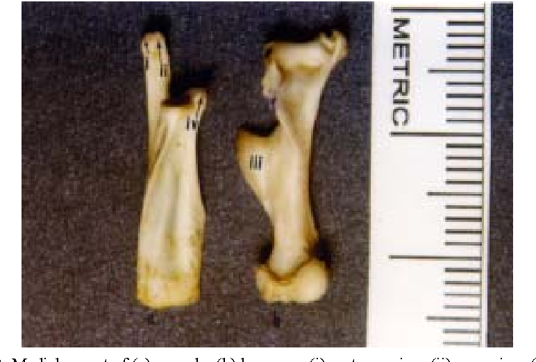 Macro-anatomical investigations on the forelimb skeleton of mole-rat ...