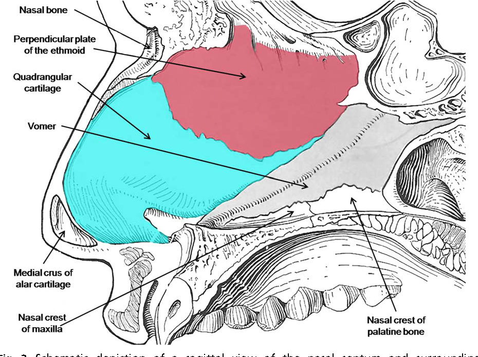 Nasal, septal, and turbinate anatomy and embryology. - Semantic Scholar
