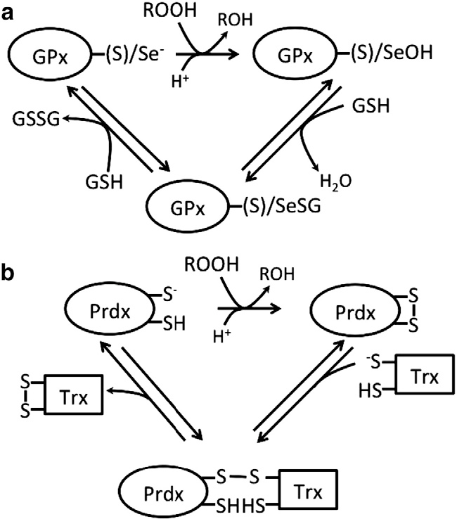 Figure 1 From An Overview Of Mechanisms Of Redox Signaling
