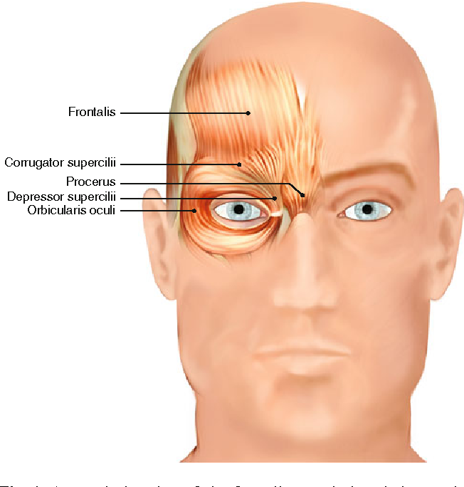 Understanding The Functional Anatomy Of The Frontalis And Glabellar
