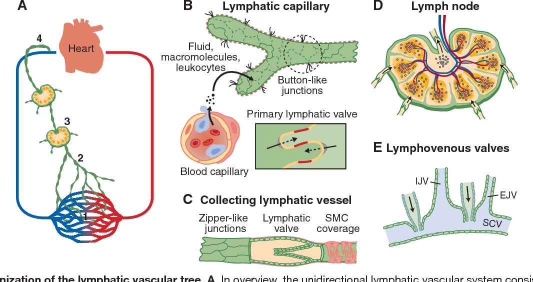 Figure 1 From Lymphatic System In Cardiovascular Medicine