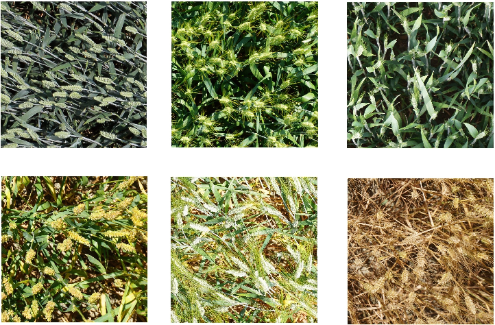 Figure 1 for WheatNet: A Lightweight Convolutional Neural Network for High-throughput Image-based Wheat Head Detection and Counting