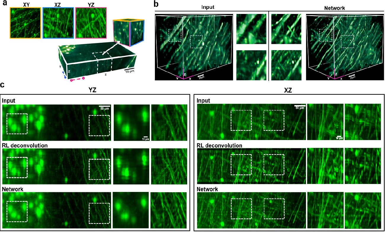Figure 3 for Axial-to-lateral super-resolution for 3D fluorescence microscopy using unsupervised deep learning