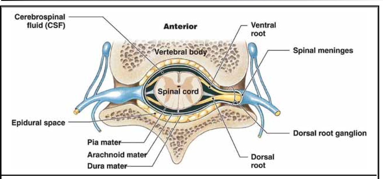 Anatomical Flow Pattern of Contrast in Lumbar Epidural Space: A ...