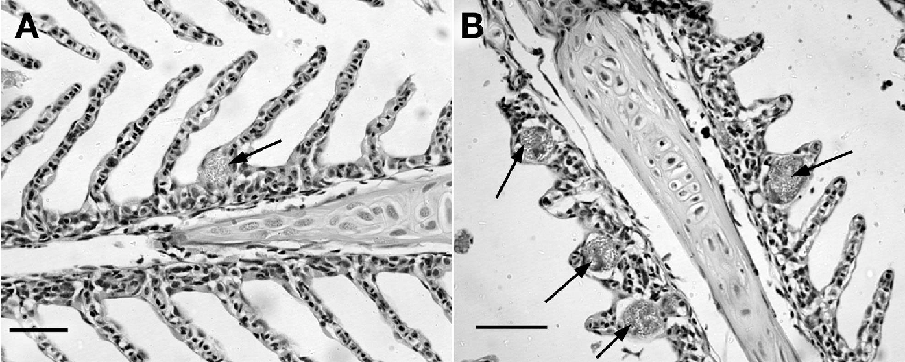Fig. 1. (A) Oncorhynchus mykiss; (B) Salvelinus fontinalis. Gill xenomas (arrowed) after 4 wk infection with Loma salmonae. (H&E Stain; scale bars = 50 µm)