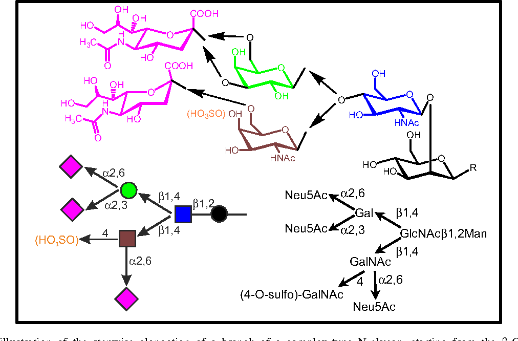 Fig. 1 Schematic illustration of the stepwise elongation of a branch of a complex-type N-glycan, starting from the b-GlcNAc-terminated structure. Gal/GalNAc moieties can then be added in alternative routes, and sialylation/sulfation completes the processing