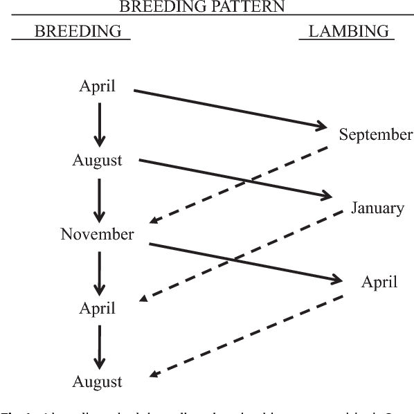 Fig. 1. A breeding schedule to allow three lambing opportunities in 2 years (Notter and Copenhaver, 1980). Solid lines indicate movement of open or