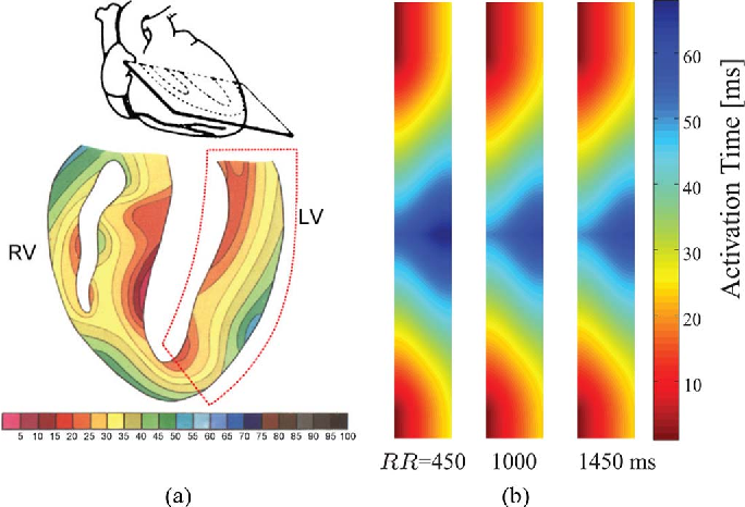 Fig. 6. Isochronic representation (in milliseconds) of ventricular activation: (a) experiment results reproduced from [27]; (b) 2-D tissue simulations when pacing at RR intervals of 450, 1000, and 1450 ms.
