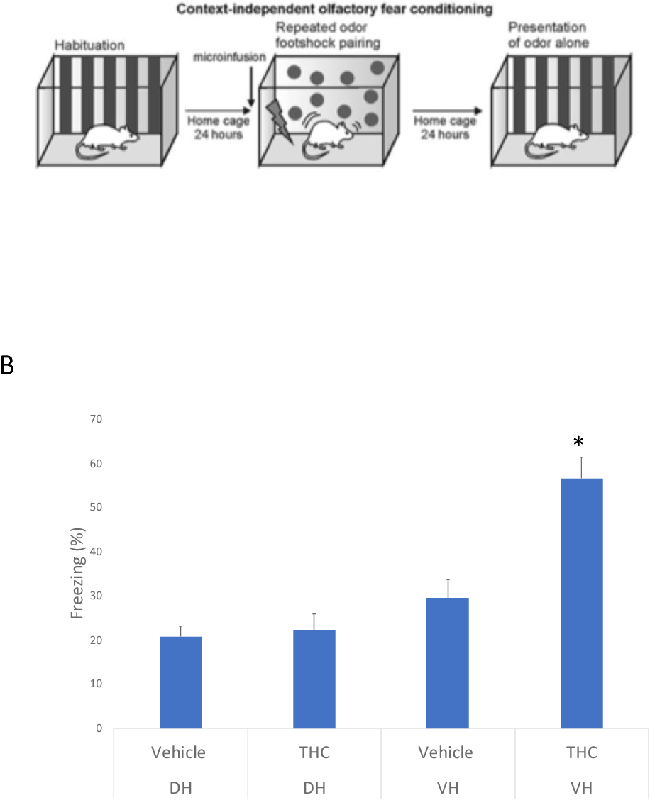 Figure 10 Context independent fear conditioning. A) Schematic for fear conditioning paradigm. B) Significant increase in freezing observed in intra-VH THC treated animals only. N: DH-VEH: 8, DH-THC: 9, VH-VEH: 8, VHTHC: 7; t-tests, *Indicated p<0.05, Error bars represent standard error of means (SEMs).