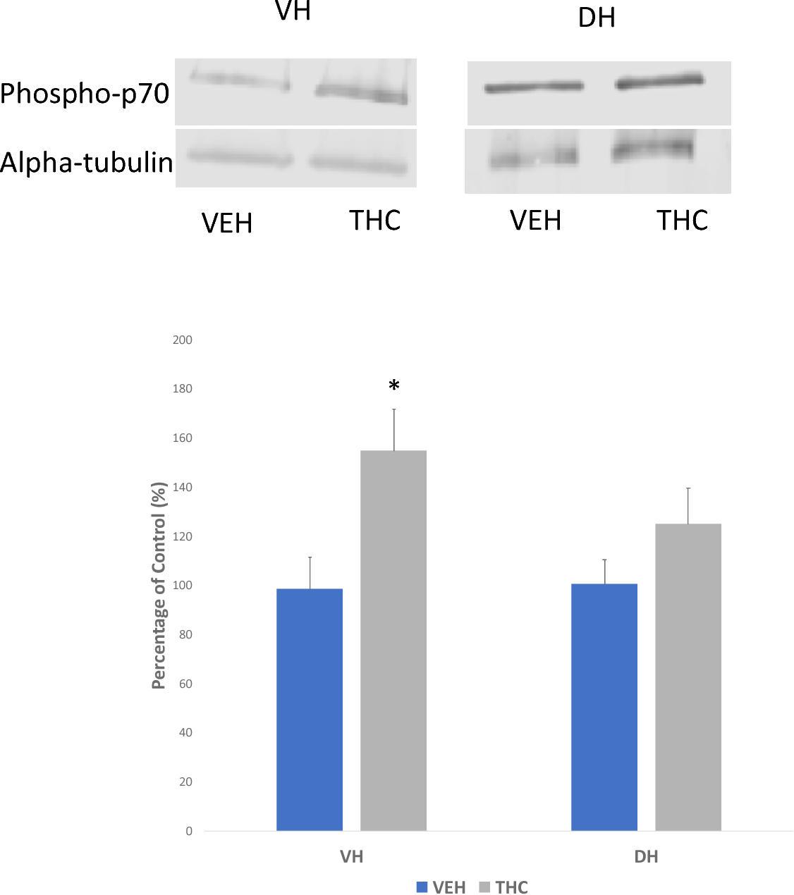 Figure 22 THC on phosphorylated p70S6 kinase levels. Representative western blot for phosphorylated p70S6 (70 kDa) and alpha-tubulin (55 kDa) expression in VH and DH tissue (top). Significant increase in phopho-p70S6 expression in intra-VH THC treated animals only. N=4; t-tests, *Indicated p<0.05, Error bars represent standard error of means (SEMs).