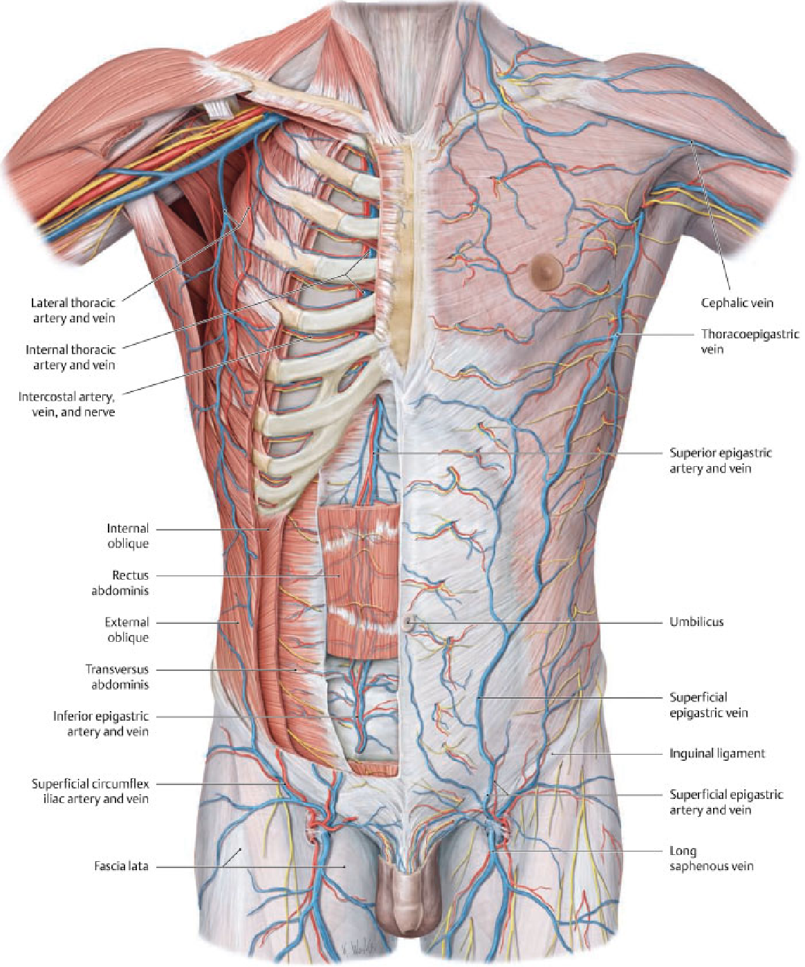 Introduction to chest wall reconstruction: anatomy and physiology of ...